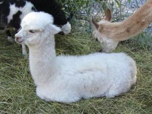 En Alpackabebis, såååå otroligt mjuk och söt!