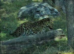 Otroligt vacker kisse, Amurleopard! Maten hängde i ett rep!