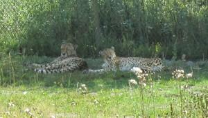 Gepardena låg och mös i skuggan och spanade in besökarna!
