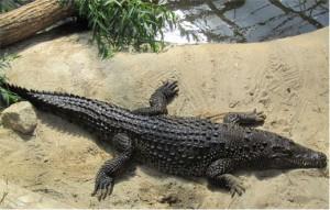 Liten söt krokodil hittade vi också.