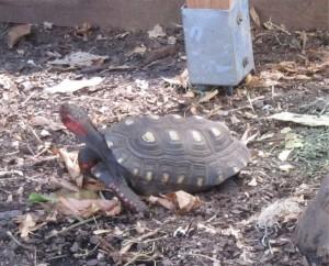 Rödfotad skogssköldpadda, de är ju röda om öronen?!?!