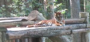 Tigern tittade upp ett par minuter när vi var där, sen somnade hen om igen. Vacker!