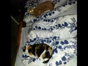 Katterna invaderar sängen