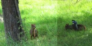 Puduhjort, världens minsta hjort blev hårt ansatt av skatan!
